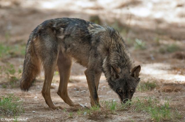 Canis-lupus-signatus-05 copia