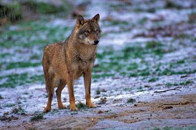 Lobo ibérico bajo la lluvia (foto: Jorge Sierra).