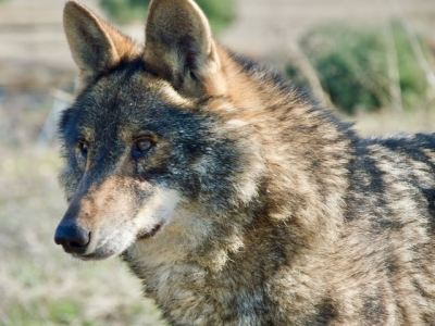 cara lobo iberico