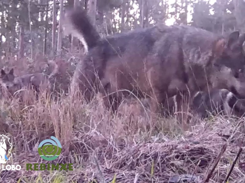lobos galicia