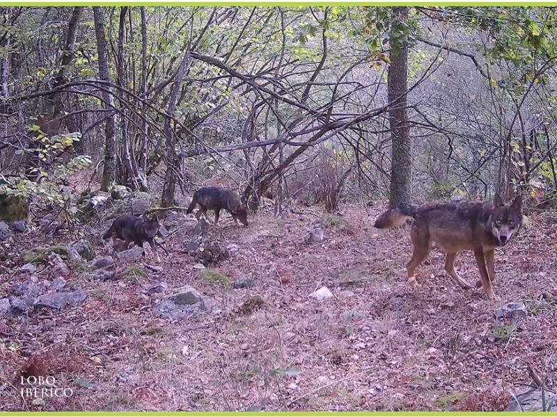 familia de lobos ibericos